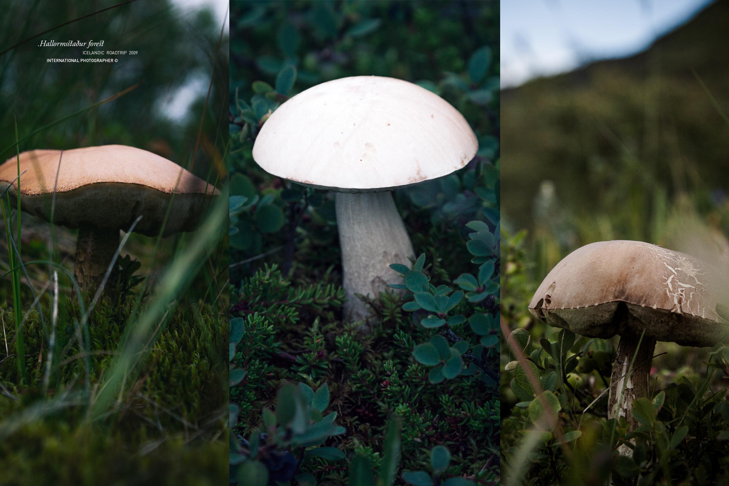 Champignons dans la forêt d'Hallormsstadur