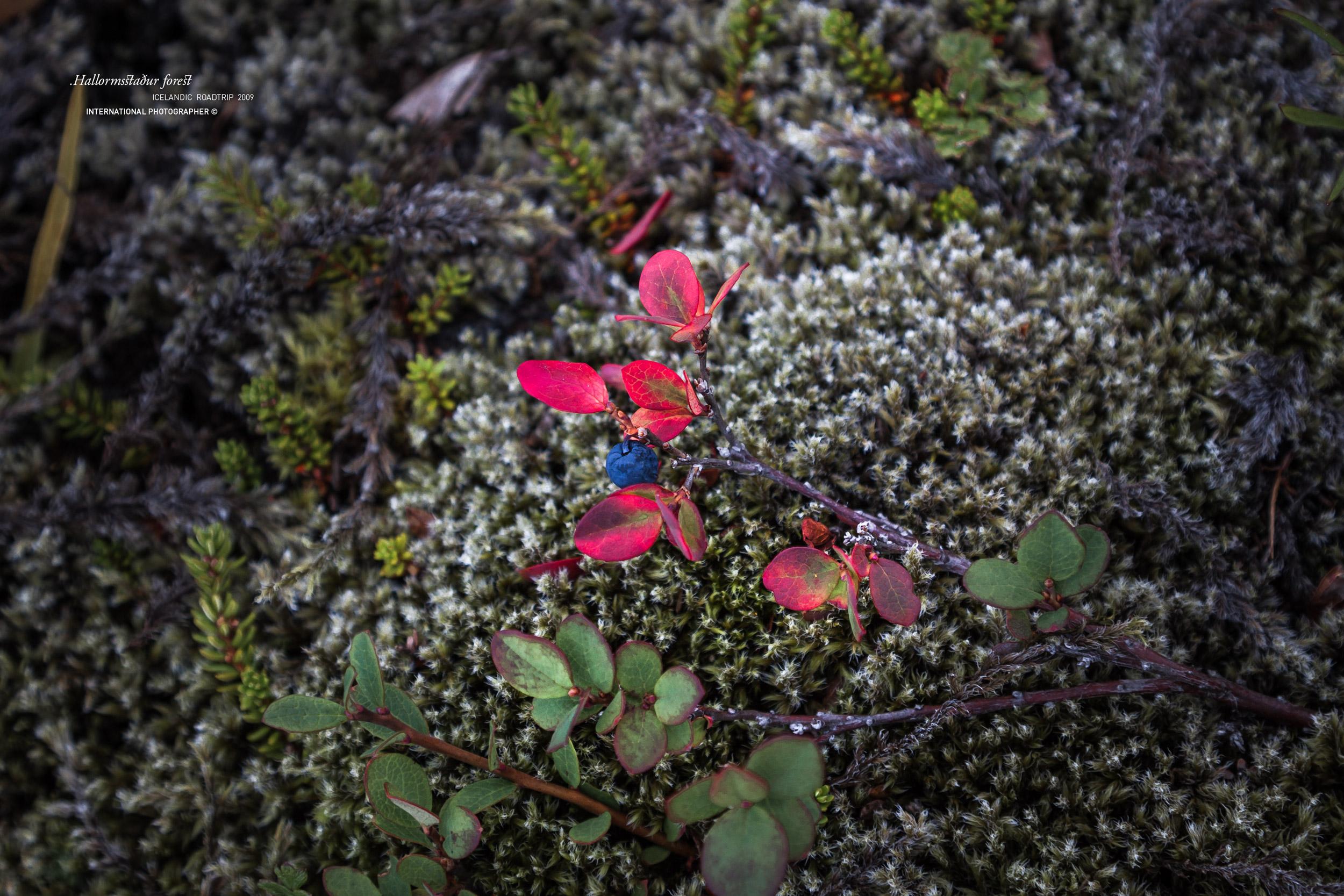 Baies de myrtilles dans la forêt d'Hallormsstadur