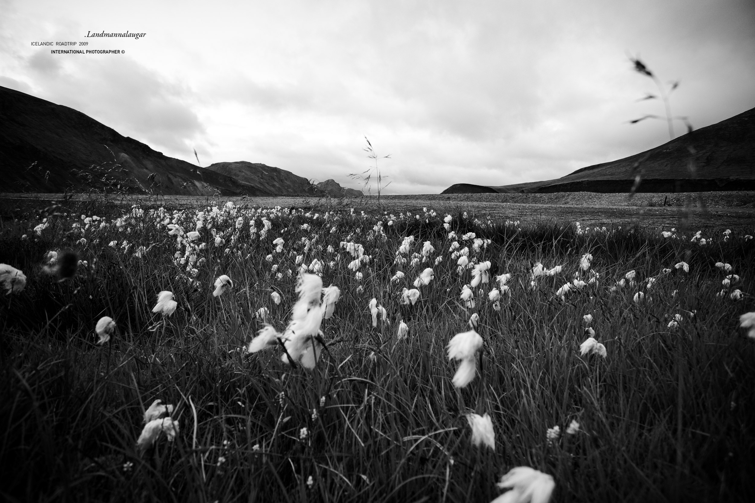 Fleurs de coton au Landmannalaugar