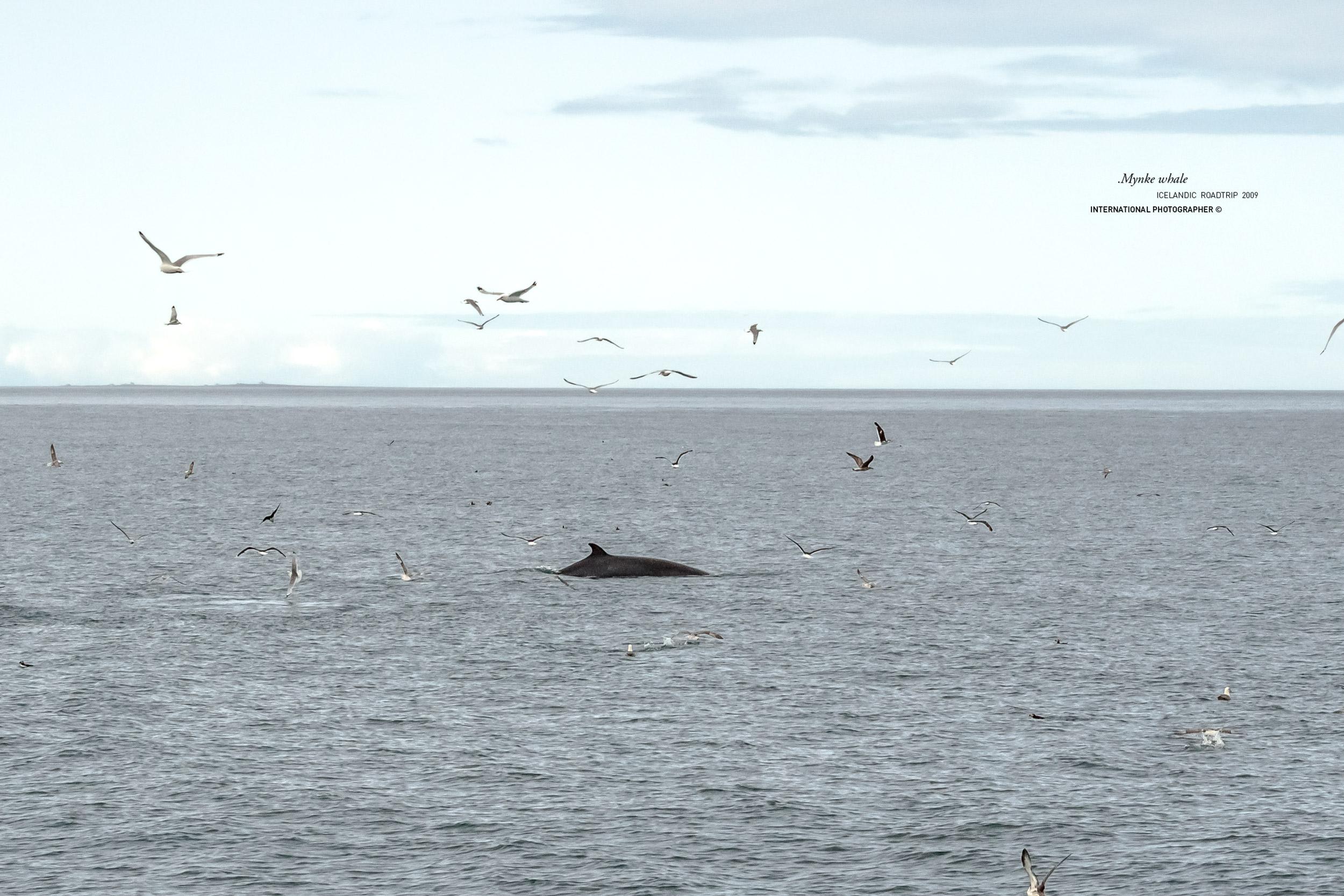 Une baleine dans la baie d'Husavik