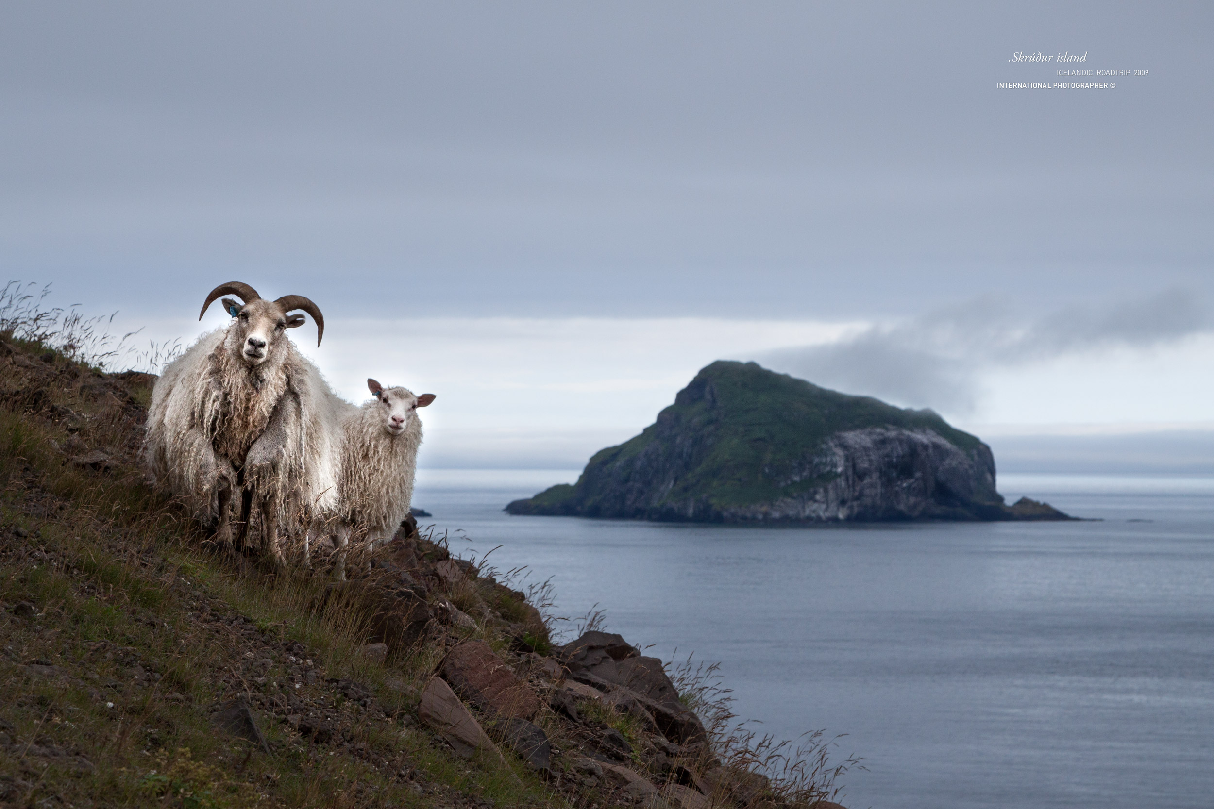 Couple de moutons prenant la pose devant l'Ile de Skrudur