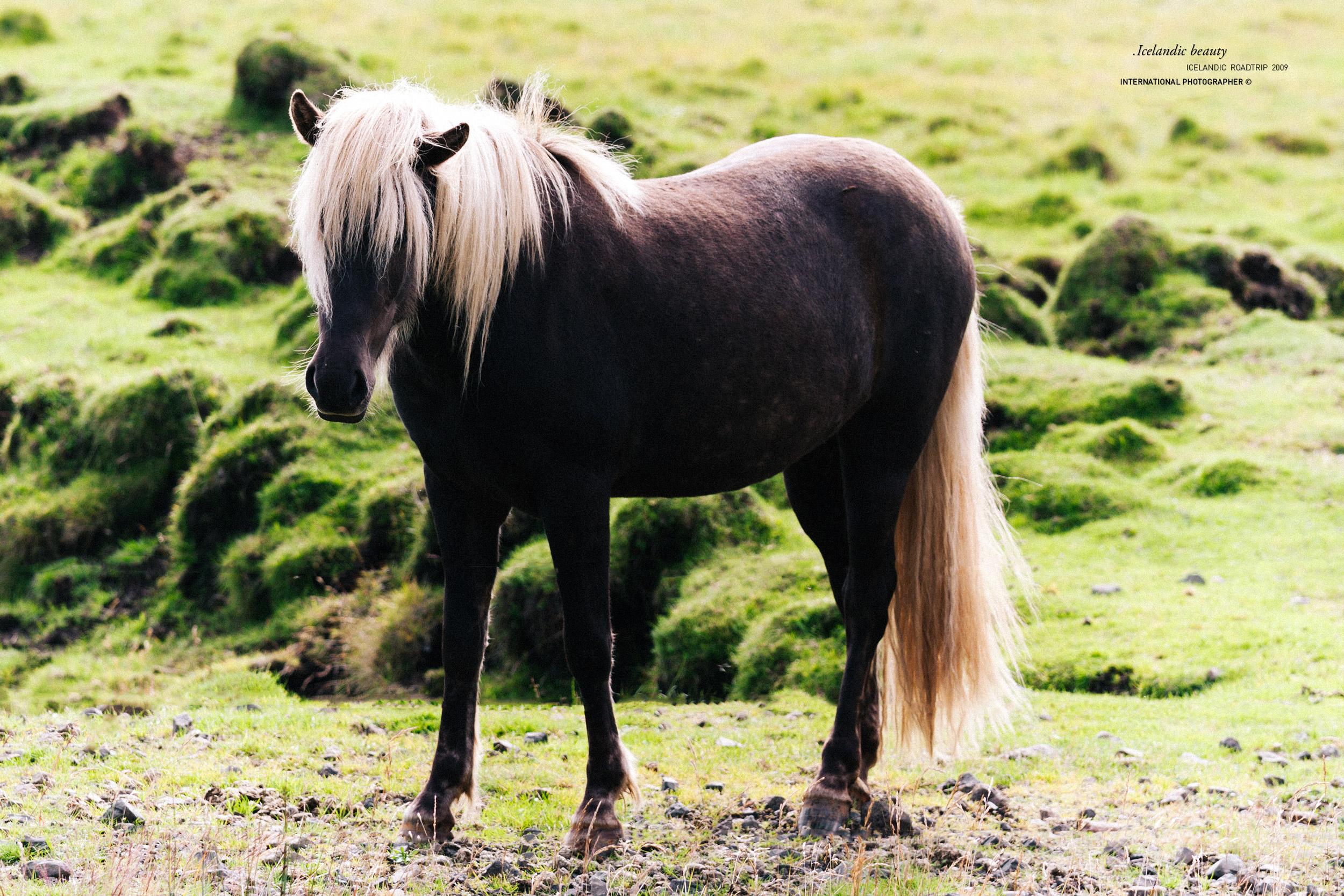 Cheval islandais brun avec une crinière blonde