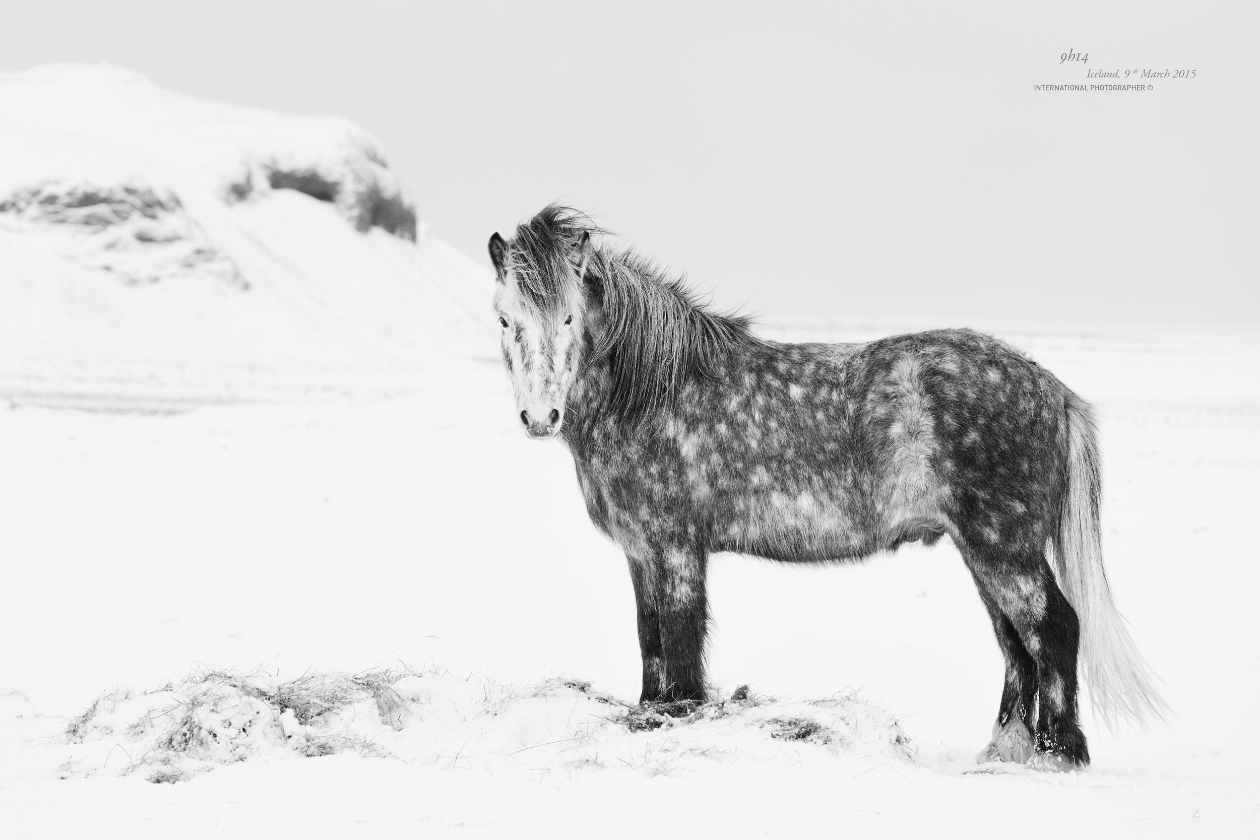 Cheval islandais de profil dans la neige